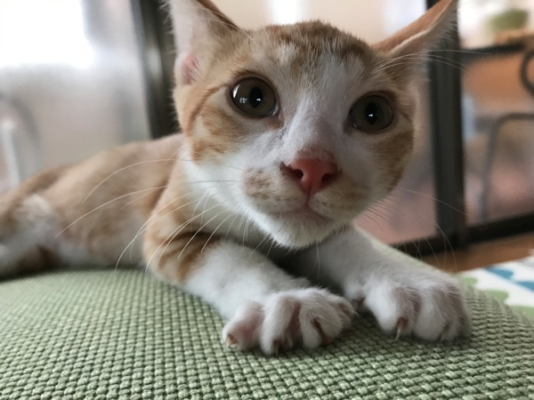 子猫 チャー