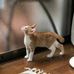 子猫のチャー